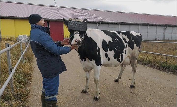 Des vaches munies de casques VR pour produire un meilleur lait